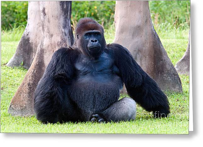 Gorilla Photographs Greeting Cards - Western Lowland Gorilla Greeting Card by Mark Newman