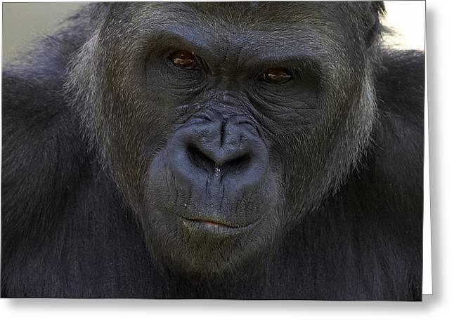 Gorilla Photographs Greeting Cards - Western Lowland Gorilla Portrait Greeting Card by San Diego Zoo