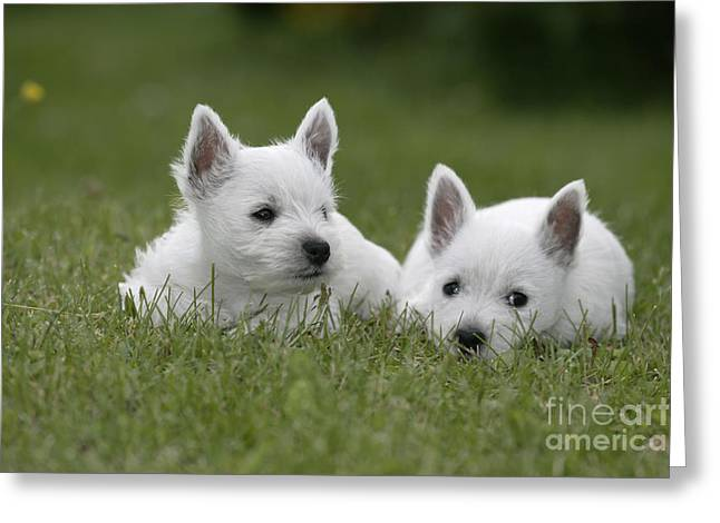 Westie Pup Greeting Cards - Westie Puppies Greeting Card by Rolf Kopfle