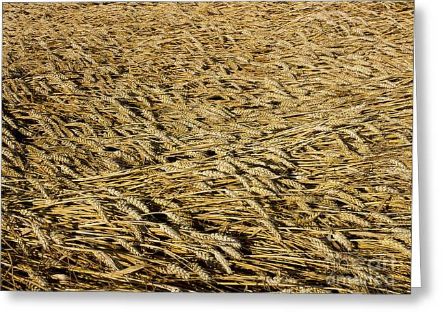 Limagne Greeting Cards - Wheat Greeting Card by Bernard Jaubert
