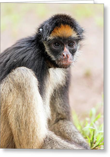 White-bellied Spider Monkey Greeting Card by Dr Morley Read