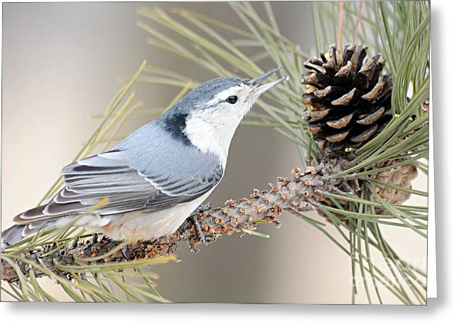 Pine Cones Greeting Cards - White Breasted Nuthatch Greeting Card by Larry Ricker