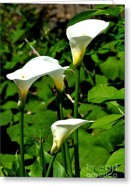 Summer Greeting Cards - White Calla Lilies Greeting Card by Mandy Judson