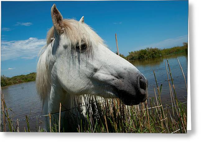 Animal Hair Greeting Cards - White Camargue Horse With Head Greeting Card by Panoramic Images