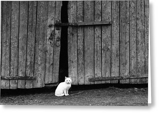 Old Barn Drawing Greeting Cards - White Cat Standing By A Barn Door  Greeting Card by Nerijus Juras