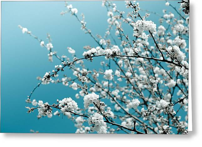 Plantlife Greeting Cards - White Cherry Blossoms Blooming in the Springtime Greeting Card by Nila Newsom