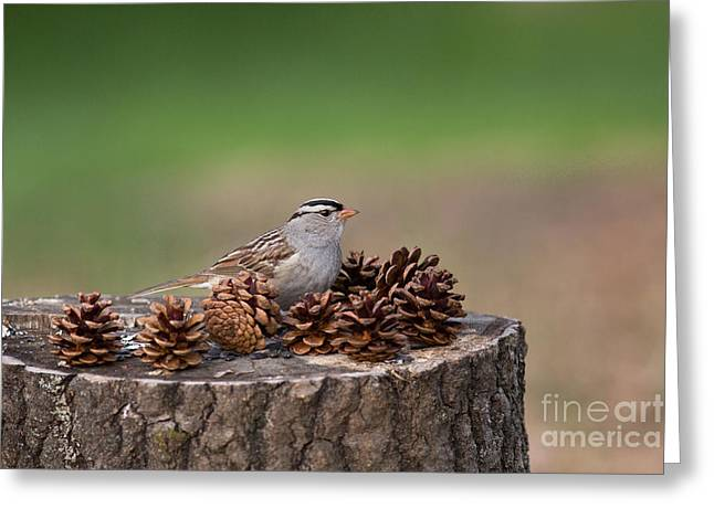 North Woods Greeting Cards - White-crowned Sparrow Zonotrichia Greeting Card by Linda Freshwaters Arndt