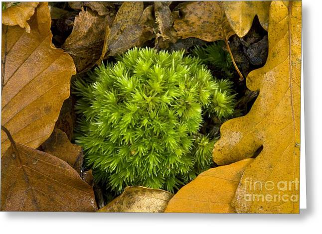 Autum Greeting Cards - White Fork-moss Leucobryum Glaucum Greeting Card by Bob Gibbons