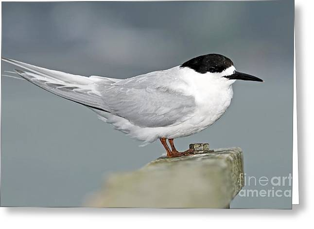Tern Greeting Cards - White-fronted Tern Greeting Card by Tony Camacho