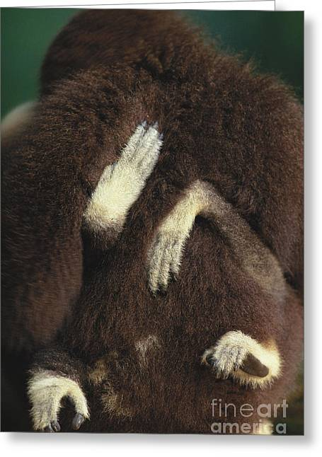 Love The Animal Greeting Cards - White-handed Gibbon Greeting Card by Art Wolfe