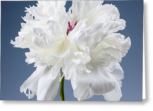 Layer Greeting Cards - White peony flower Greeting Card by Elena Elisseeva