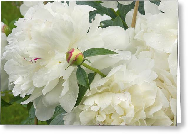 White Photographs Greeting Cards - White Peony Flowers Greeting Card by Keith Webber Jr