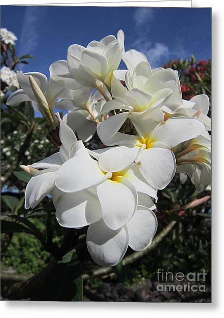 Coloured Greeting Cards - Beautiful White Plumeria Greeting Card by Sharon Patterson