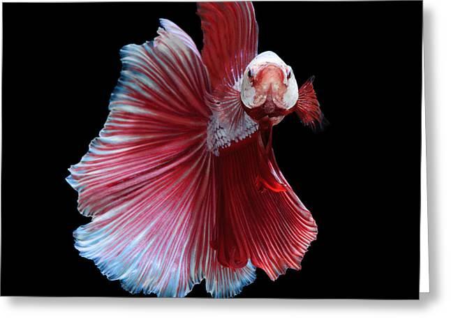 Betta Greeting Cards - White-red betta fish Greeting Card by Jirawat Plekhongthu