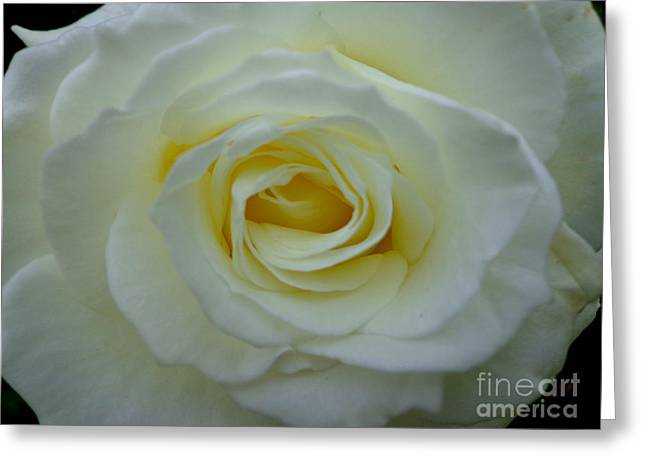 Nature Pyrography Greeting Cards - White Rose Greeting Card by Eva Ason