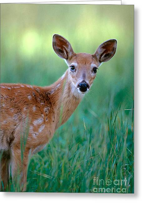 Bison Range Greeting Cards - White-tailed Deer Odocoileus Virginianus Greeting Card by Art Wolfe