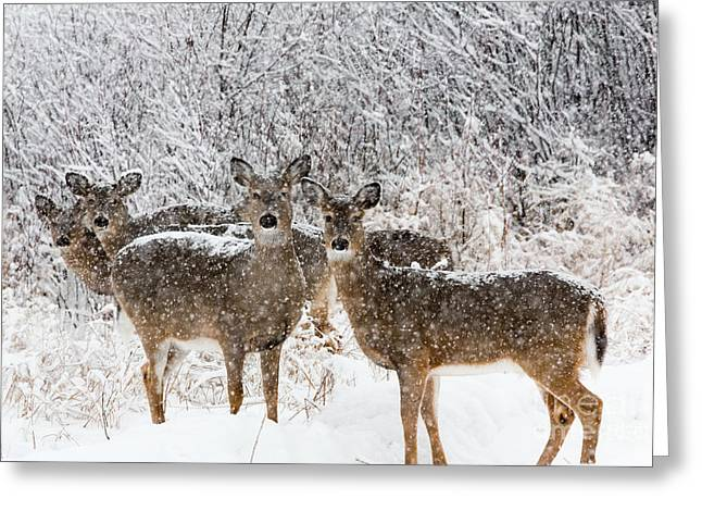 Animalia Greeting Cards - White-tailed Deer  Greeting Card by Linda Freshwaters Arndt