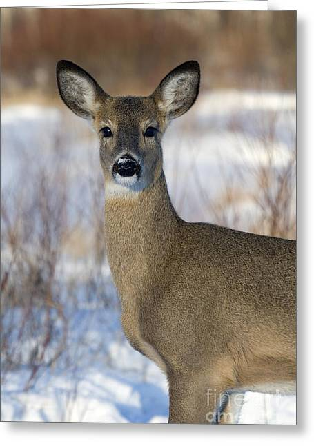 Does. Winter Greeting Cards - White-tailed Doe Greeting Card by Linda Freshwaters Arndt