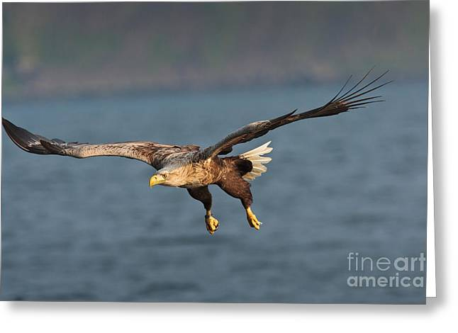 British Fauna Greeting Cards - White-tailed Sea Eagle Greeting Card by Thomas Hanahoe