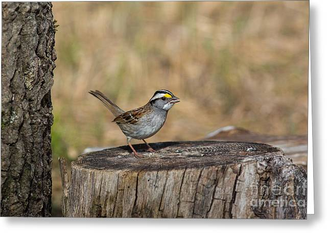 Animalia Greeting Cards - White-throated Sparrow Zonotrichia Greeting Card by Linda Freshwaters Arndt