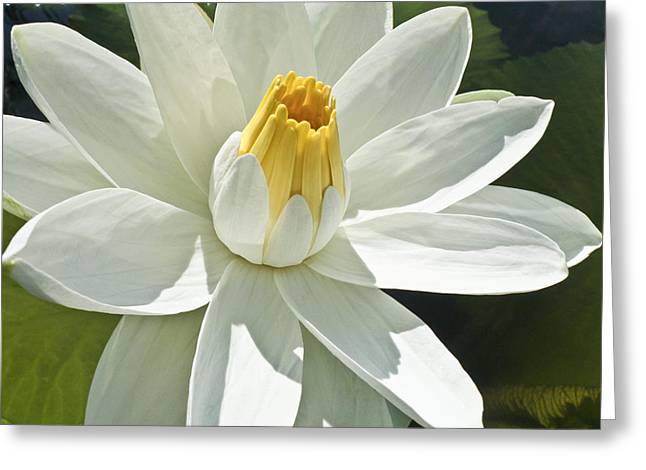 Nymphaea Alba Greeting Cards - White Water Lily - Nymphaea Greeting Card by Heiko Koehrer-Wagner
