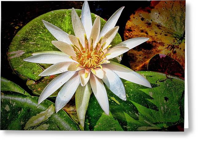 White Water Lily Greeting Card by Rudy Umans