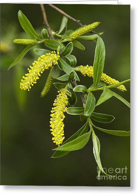 White Willow Greeting Cards - White Willow Salix Alba Greeting Card by Adrian Bicker
