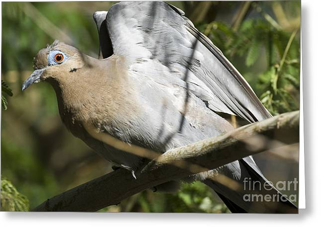 Stretching Wings Greeting Cards - White-winged Dove Greeting Card by William H. Mullins
