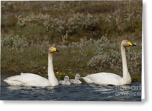 Cygnus Greeting Cards - Whooper Swan Family Greeting Card by John Shaw