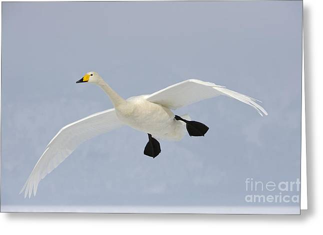 Cygnus Greeting Cards - Whooper Swan Greeting Card by John Shaw