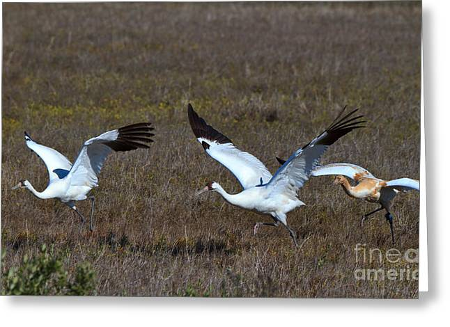 Whoops Greeting Cards - Whooping Cranes Greeting Card by Louise Heusinkveld