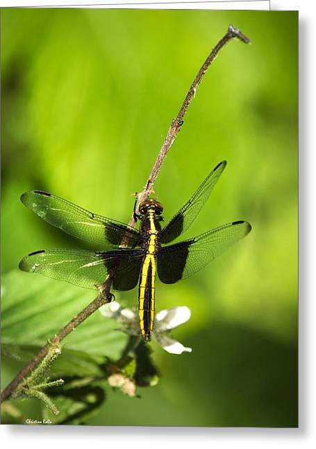 Dragonfly Art Greeting Cards - Dragonfly Widow Skimmer  Greeting Card by Christina Rollo