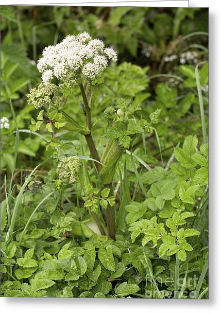 Angelica Greeting Cards - Wild Angelica Angelica Sylvestris Greeting Card by Bob Gibbons