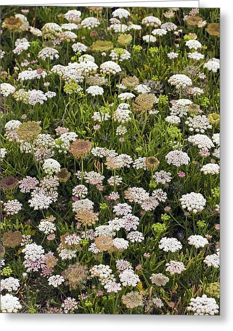 Daucus Greeting Cards - Wild Carrot (Daucus carota) Greeting Card by Science Photo Library
