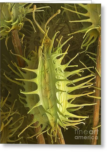 Carota Greeting Cards - Wild Carrot Seeds Daucus Carota, Sem Greeting Card by Power and Syred