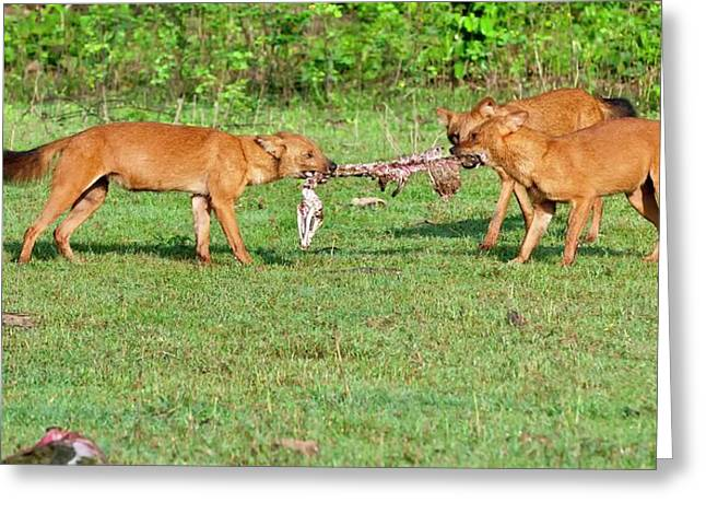 Wild Dogs Playing With A Carcass Greeting Card by K Jayaram