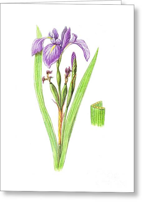 Cape Lily Greeting Cards - Wild Iris Greeting Card by Carlyn Iverson