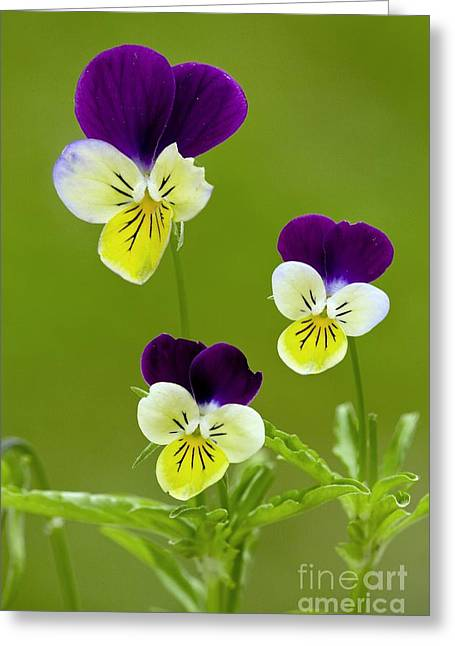 Wild Pansy Greeting Cards - Wild Pansy Viola Tricolor Greeting Card by Bob Gibbons