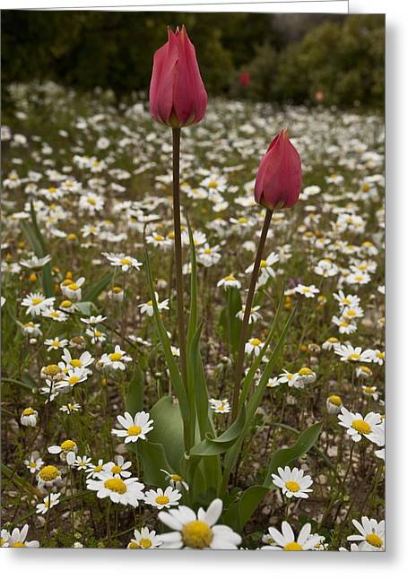 Chios Greeting Cards - Wild Tulips (Tulipa praecox) Greeting Card by Science Photo Library