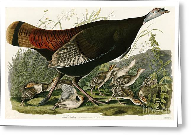 Zoology Paintings Greeting Cards - Wild Turkey by John James Audubon Greeting Card by Pablo Romero