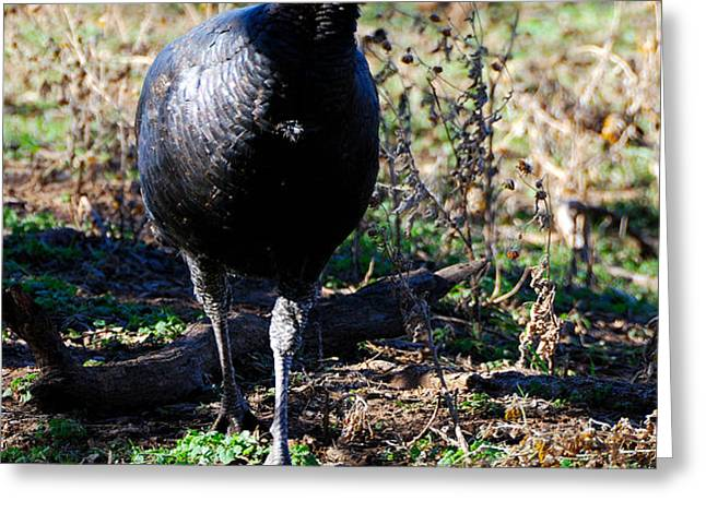 Wild Turkey Greeting Card by Thea Wolff