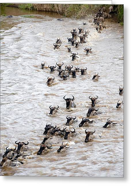 Ungulate Greeting Cards - Wildebeests Crossing A River, Mara Greeting Card by Panoramic Images