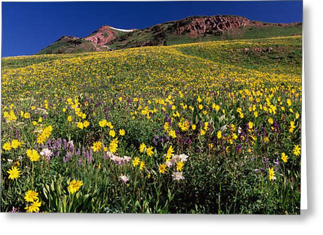 Wildflowers In A Field, West Maroon Greeting Card by Panoramic Images