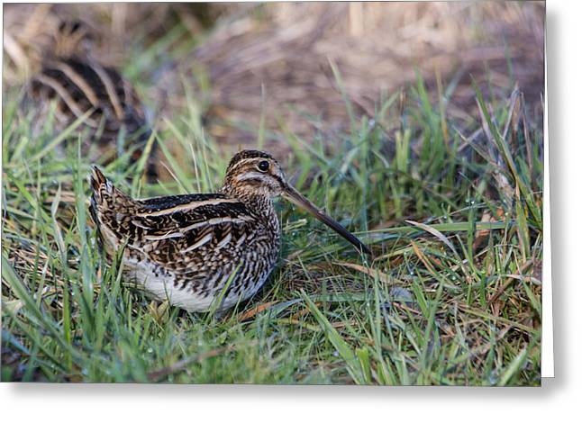 Wildlife Refuge. Greeting Cards - Wilsons Snipe Greeting Card by Angie Vogel