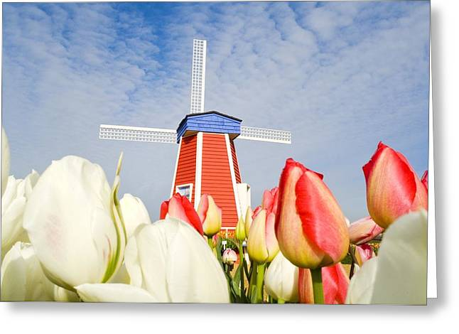 Woodburn Greeting Cards - Windmill And Tulips At Wooden Shoe Greeting Card by Dan Sherwood