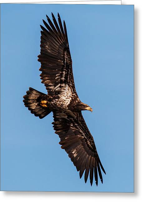 Eagles In Flight Greeting Cards - Wings Greeting Card by Angie Vogel