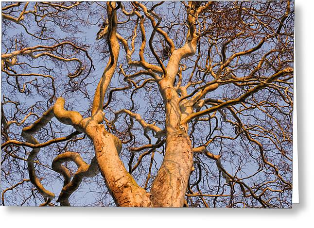 Plane Trees Greeting Cards - Winter Tree Light Greeting Card by Tim Gainey