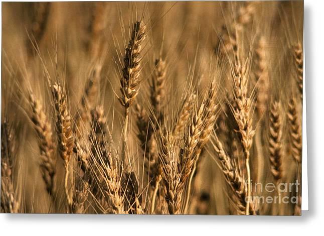 Winter Wheat Triticum Aestivum Greeting Card by Ron Sanford