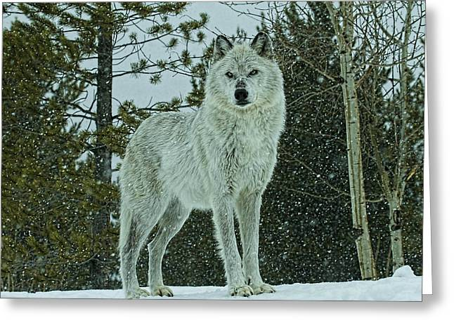 Preditor Greeting Cards - Winters Wolf Greeting Card by Steve McKinzie