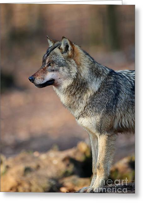 Wolf Head Greeting Cards - Wolf In Germany Greeting Card by Willi Rolfes